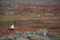 Barren-ground Caribou on autumn tundra (Rangifer tarandus groenlandicus), Near Stock Photos