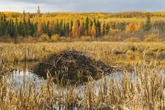 Beaver lodge, Prince Albert National Park, Saskatchewan, Canada Kuvituskuvat