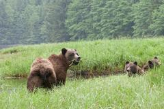 A sow Grizzly (ursus Arctos) and her two young cubs enjoy the high protein sedge Stock Photos