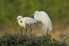Great Egrets (Ardea alba) Stock Photos