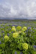 Lupine Field with Hogweed   at Vik Stock Photos
