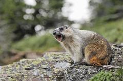Yellow-bellied marmot (Marmota flaviventris) whistling, Glacier National Park, Kuvituskuvat