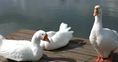Large species, three white goose on a pond Sergiev Posad Stock Footage