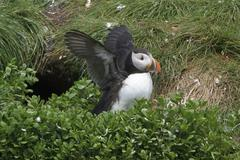 Atlantic Puffin (Fratercula arctica) perched on a cliff near its nest burrow off Stock Photos