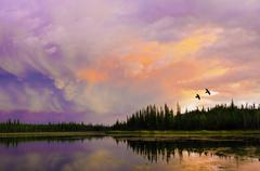 Ravens (Corvus corax) flying across a boreal lake at sunset, Yellowknife Stock Photos