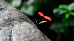 Postman Butterfly licking mineral salts from rock Stock Footage