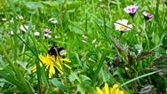 Bumblebee gathering pollen, closeup Stock Footage