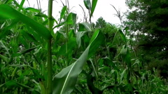 Corn Field With Unripe Cobs In The Stalk Stock Footage