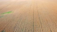 Ripe wheat field view Stock Footage