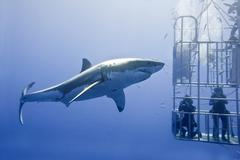 Cage-diving for great white sharks (Carcharodon carcharias), Isla Guadalupe, Kuvituskuvat