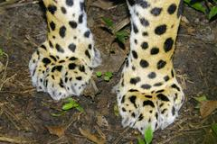 Jaguar (Panthera onca) front paws, tropical rain forest, Belize, Central America Stock Photos