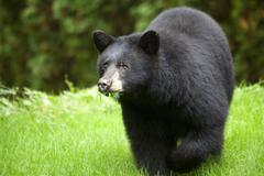 North American Black Bear ( Ursus americanas ) Eating Grass, Omnivore, Roberts Stock Photos