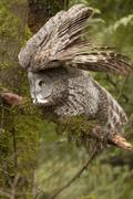 Great Grey Owl, Strix nebulosa, Vancouver, BC, Canada Stock Photos