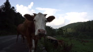 Cow walking on country road,looking at lens curiously Stock Footage