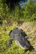 American alligator. Alligator mississippiensis, Everglades, Florida, USA Stock Photos