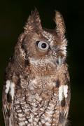 Eastern Screech-Owl, Megascops asio, Florida, USA Stock Photos