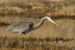 Great Blue Heron, Ardea herodias, Boundary Bay, Coastal BC, Canada Stock Photos