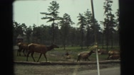 1974: a lot of deer crossing a paved road in a rural area LYNBROOK, NEW YORK Stock Footage
