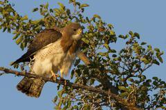 Swainson's Hawk, Buteo swainsoni, Arizona, USA Stock Photos