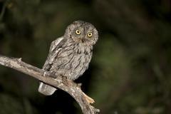 Western Screech Owl (Southwest), Megascops kennicottii aikenii, Arizona, USA Stock Photos