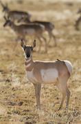 Pronghorn, Antilocapra americana, Southwest USA, New Mexico Stock Photos
