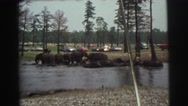1974: a lot of large animals roam free in a natural area with visitors LYNBROOK, Stock Footage