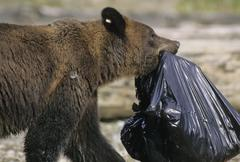 Grizzly Bear (Ursus arctos horribilis) Adult scavenging from a dump, Summer, Stock Photos