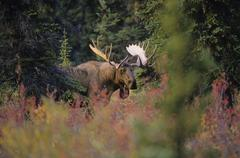 Moose (Alces alces) Male. Generally slow-moving and sedentary, moose can become Stock Photos