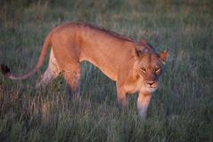 Lion, Chobe National Park, Botswana, Africa Stock Photos