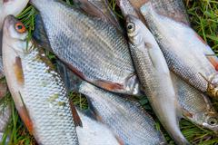 Freshwater fish just taken from the water. Several bream, roach, bleak fish a Stock Photos