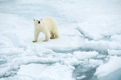 Polar bear (Ursus maritimus) on pack ice, Svalbard Archipelago, Norwegian Arctic Kuvituskuvat