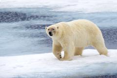 Polar bear (Ursus maritimus) on pack ice, Svalbard Archipelago, Norwegian Arctic Stock Photos