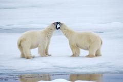 Adult male polar bears (Ursus maritimus) interacting, Svabard Archipelago, Stock Photos
