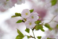 Cherry blossomming in Royal Botanical Garden, Ontario Stock Photos