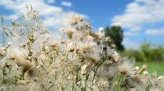 Pink sow thistle with seeds on sunny day Stock Footage