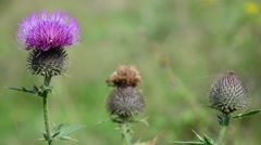 Flower of burdock close-up in afternoon Stock Footage