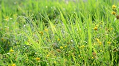 Fragment of meadows with grass and yellow flowers Stock Footage