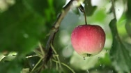 Red apple with rain drops on the tree. Slowmotion. Fruit tree Stock Footage