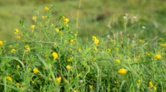 Field yellow clover in grass Stock Footage