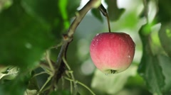 Apple tree wet from the rain. Rain in the apple orchard Stock Footage