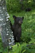American Black Bear cubs exploring in spring forest, Ursus americanus, North Stock Photos