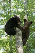 American black bear, Ursus americanus, cubs, siblings playing in spring forest. Stock Photos