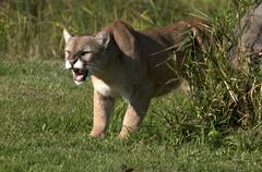 Cougar or mountain lion, Puma concolor, snarling, North America. Kuvituskuvat
