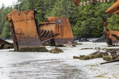 A lone Timber Wolf (Canus lupus) roams among the remains of an old shipwreck at Stock Photos