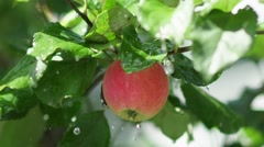 Fruit tree. Juicy red apple with rain drops on the tree branch Stock Footage