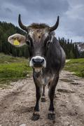 A cow in the Dolomites, Italy Stock Photos