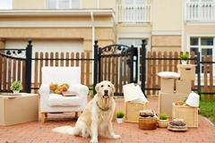 Cute labrador sitting on background of packed things by fence of new house Stock Photos