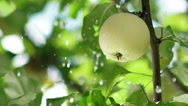 Young apple on the tree. Rain drops fall on the apple and the tree leaves Stock Footage