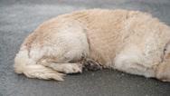 Obedient Golden Retriever Dog Stock Footage