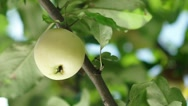 Summer rain in the garden with apples. Apple tree. Slowmotion Stock Footage